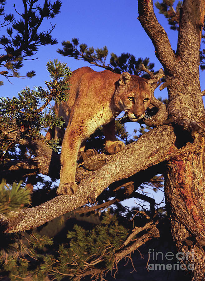 North American Wildlife Photograph - Mountain Lion by Dennis Hammer