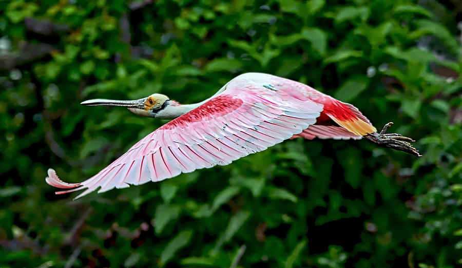 Bird Photograph - Roseate Spoonbill In Flight by Lindy Pollard