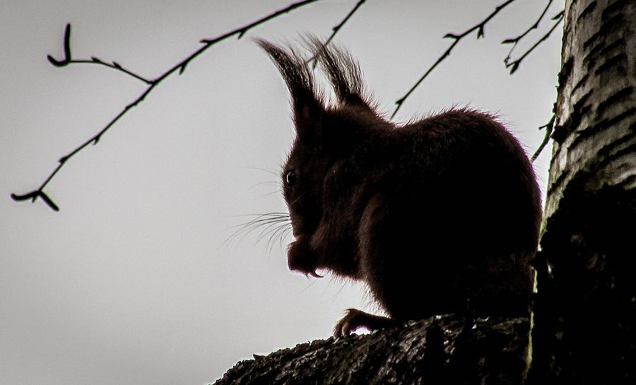 Squirrel Photograph - Squirrel by Cesar Vieira