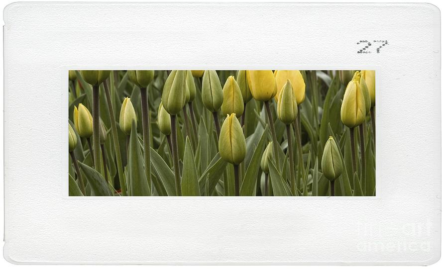 Tulips Photograph - Tulips by Dania Reichmuth