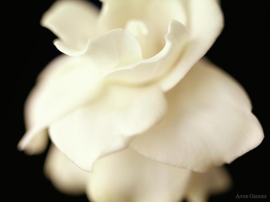 Flower Photograph - Gardenia by Anne Geddes