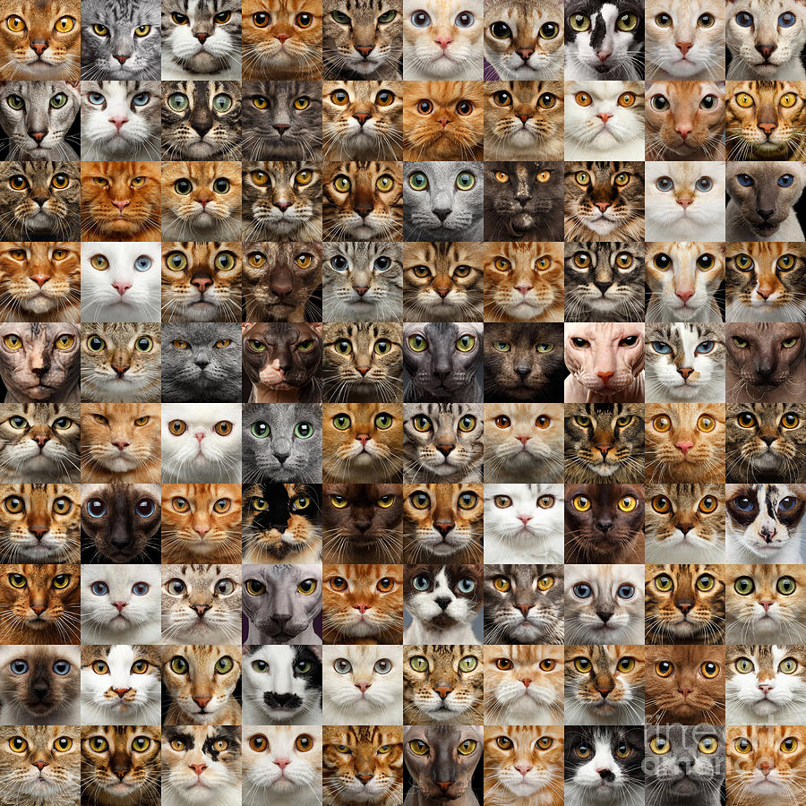 100 Photograph - 100 Cat faces by Sergey Taran