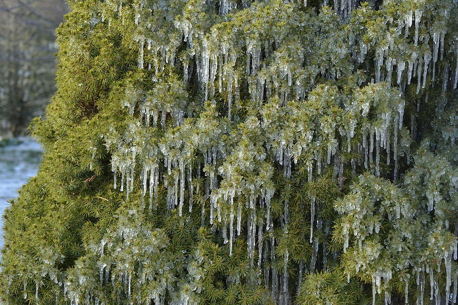 1000 Icicles and a Bush by JD Grimes