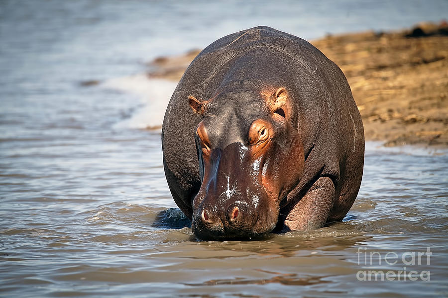 1045 Hippopotamus Photograph