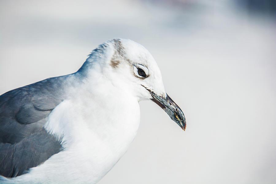 10867 Black Billed Gull Photograph