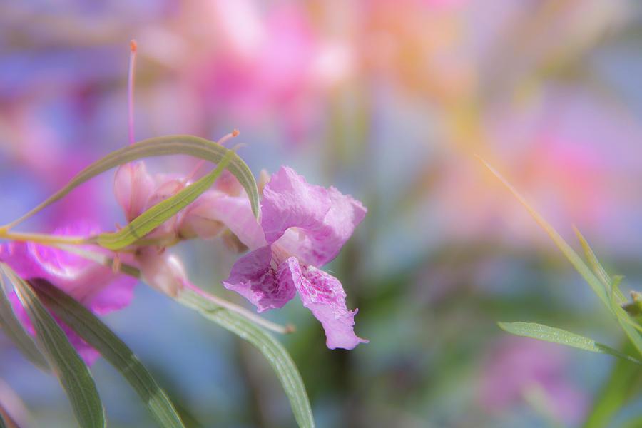10923 Desert Willow Photograph