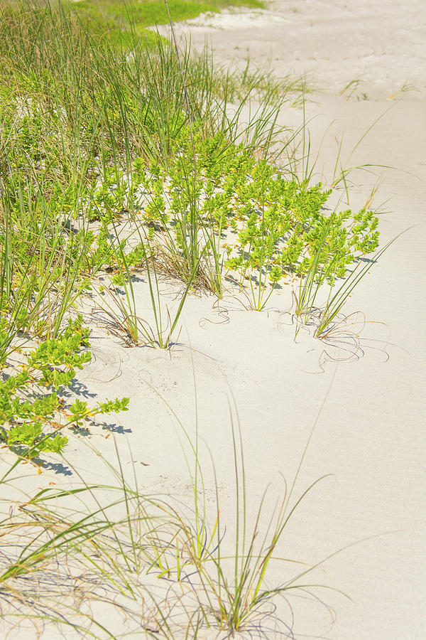 10963 Sea Oats by Pamela Williams