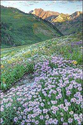 Albion Basin Wildflowers Photograph