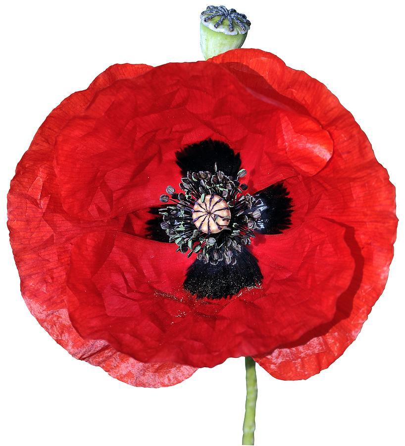 Clothing Photograph - Poppy Flower by George Atsametakis