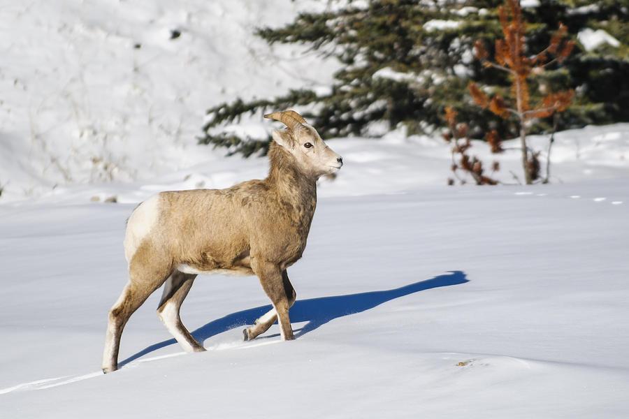 Rocky Mountain Bighorn Sheep Photograph