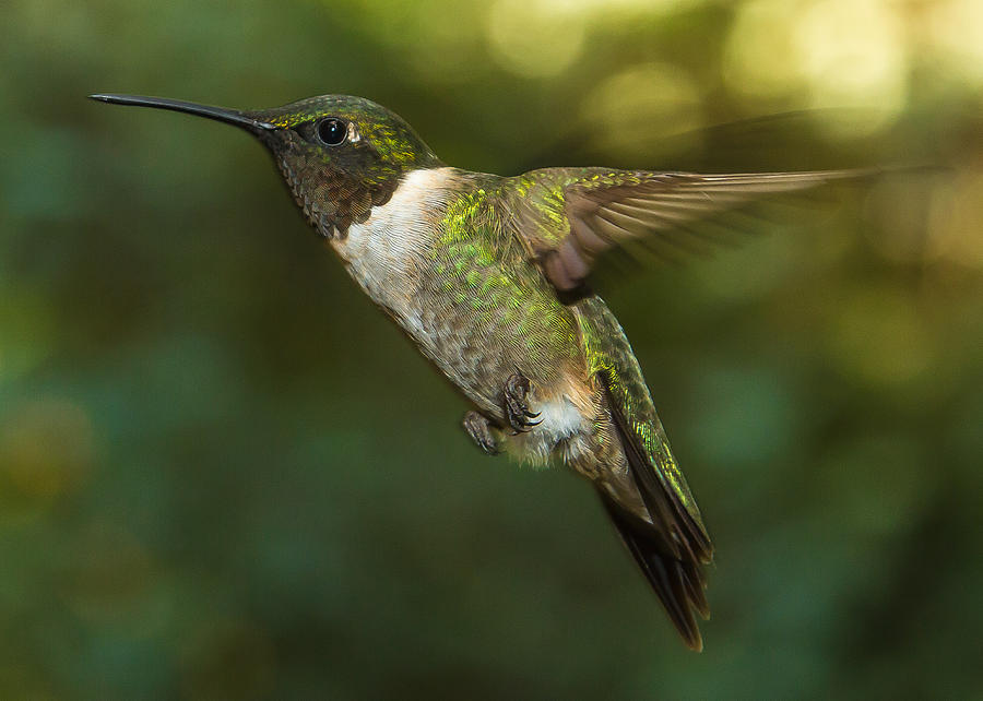 Ruby-throated Hummingbird Photograph - Ruby-throated Hummingbird by Robert L Jackson