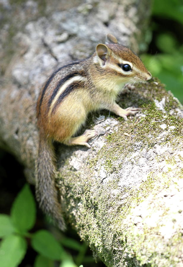 Chipmunk Photograph - Chipmunk by Ken Keener