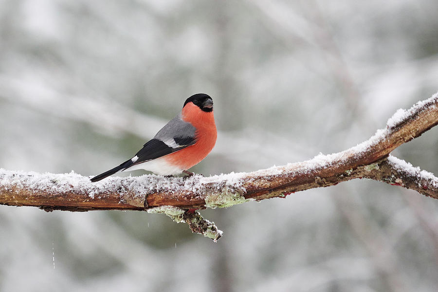 Finland Photograph - Eurasian Bullfinch In Winter by Jouko Lehto