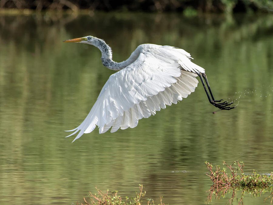Great Photograph - Great Egret by Tam Ryan