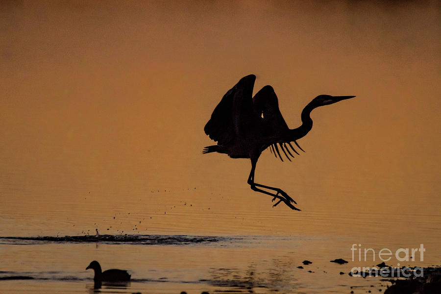 Happy Dance Of The Great Blue Heron Photograph