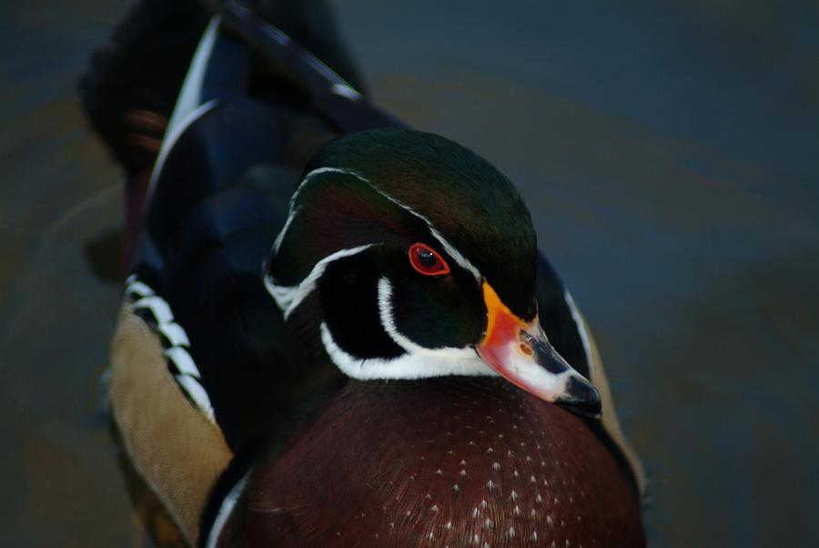 Wood Duck Photograph - 121609-325 by Mike Davis