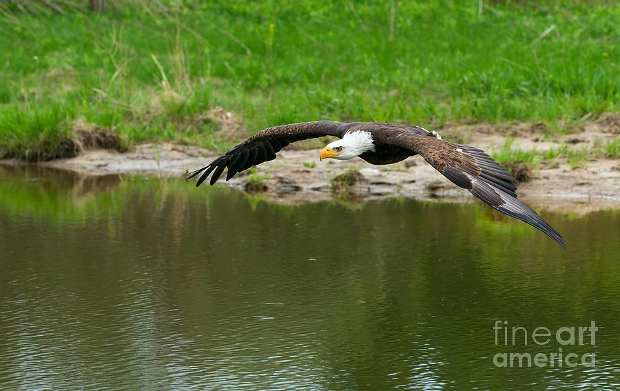 Bald Photograph - Bald Eagle  by Les Palenik