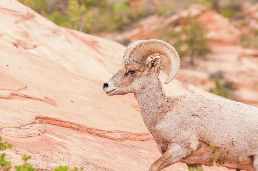 America Photograph - Desert Bighorn Ram by Rich Leighton
