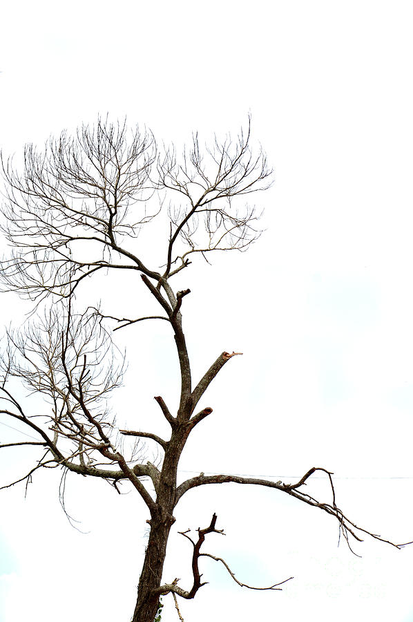 Dried Branches On A Big Tree Photograph