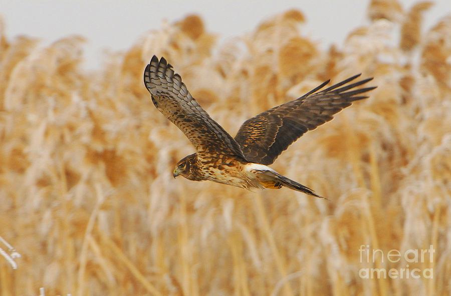 Bird Photograph - Harrier Hawk by Dennis Hammer