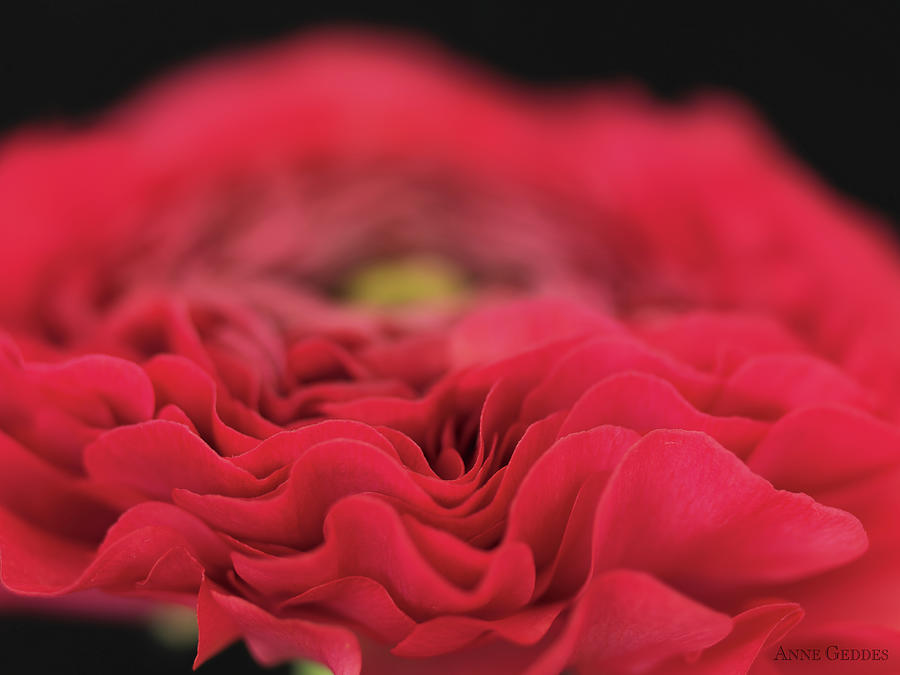 Red Photograph - Ranunculus In Bloom by Anne Geddes