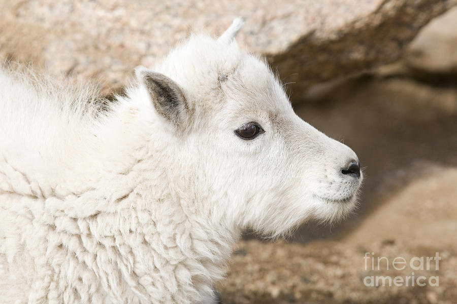 Baby Mountain Goats On Mount Evans Photograph
