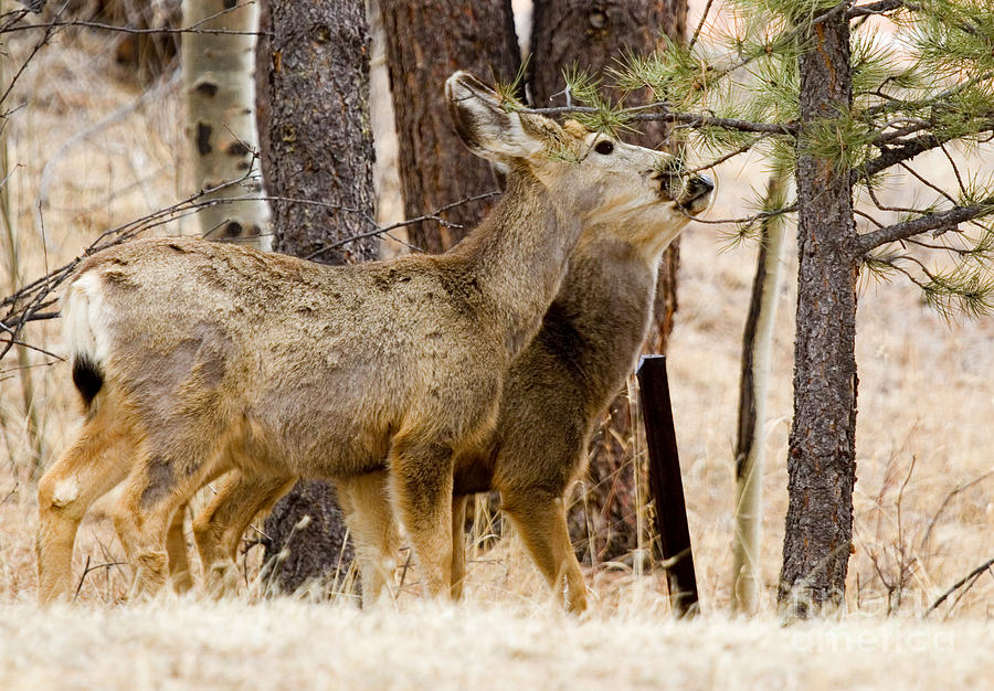 Mule Deer In The Pike National Forest Of Colorado Photograph