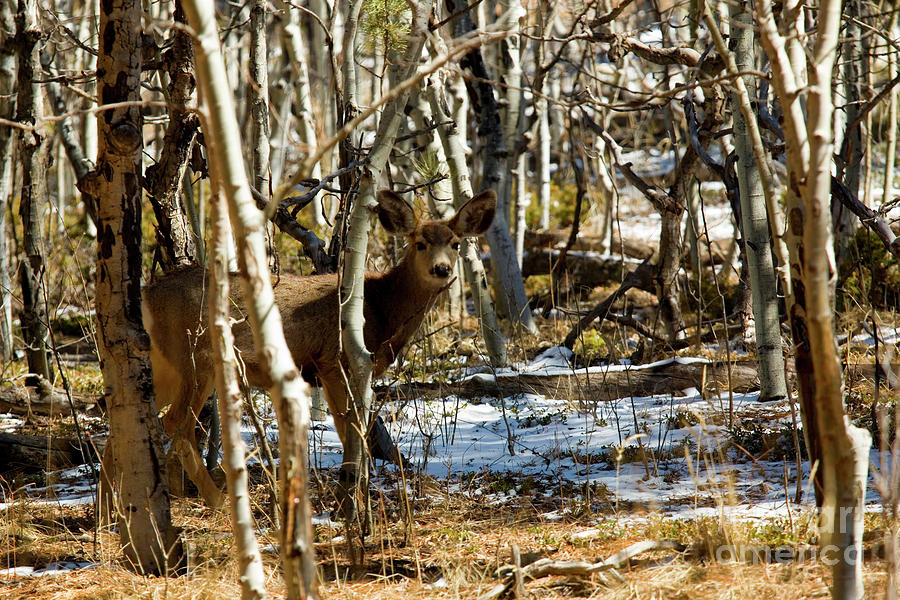 Mule Deer In The Pike National Forest Photograph