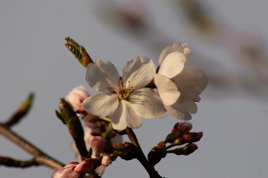 Cherry Blossom Photograph - Black Cherry Tree  by Samuel Webb