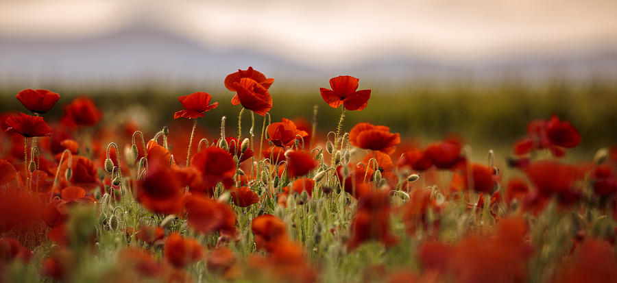 Poppy Photograph - Summer Poppy Meadow by Nailia Schwarz