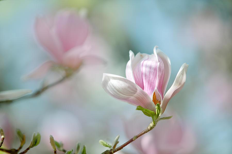 Magnolia Photograph - Magnolia Flowers by Nailia Schwarz