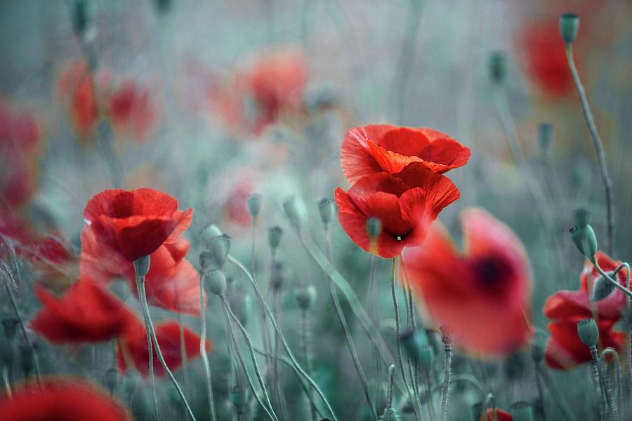 Poppy Photograph - Summer Poppy Meadow by Nailia Schwarz