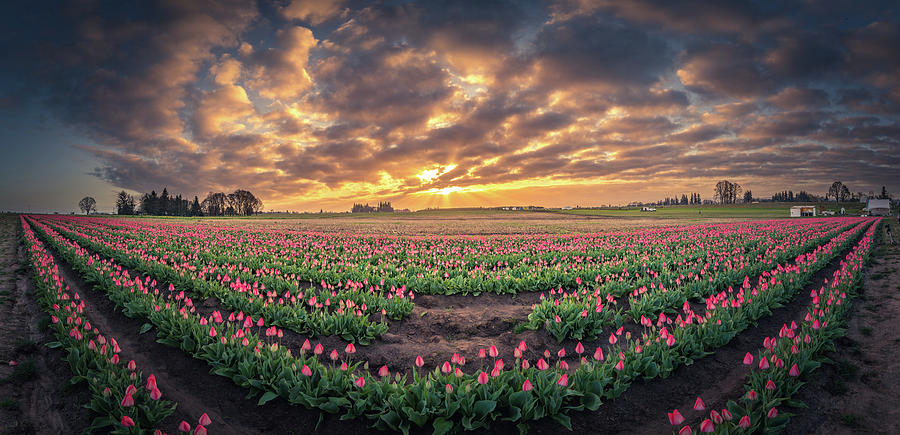 180 Degree View Of Sunrise Over Tulip Field Photograph