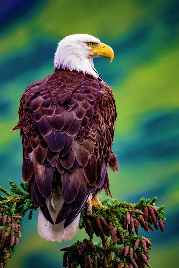Bald Eagle by Norman Hall