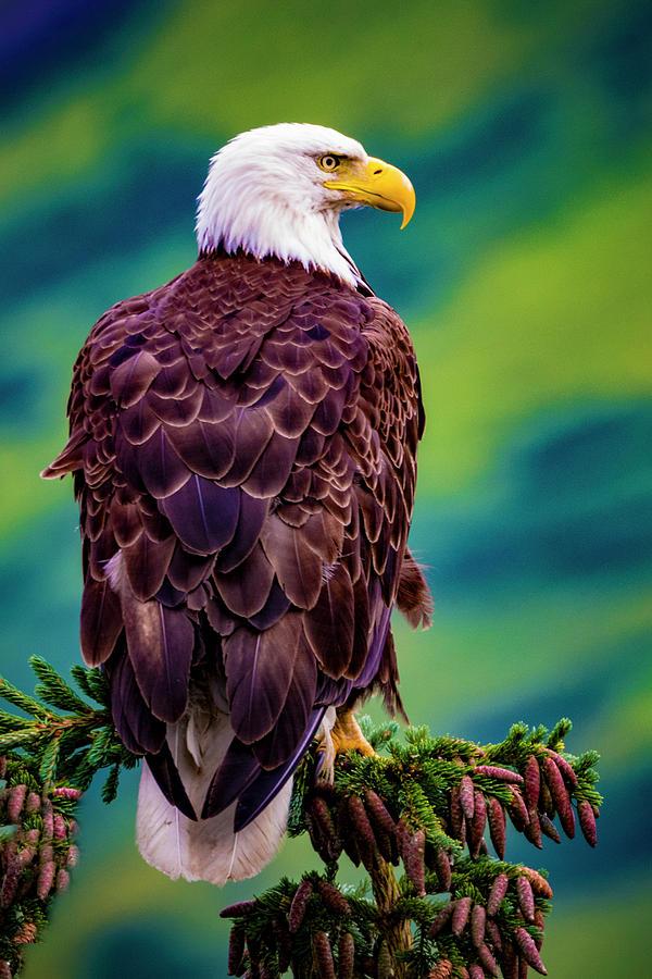 Bald Eagle Photograph - Bald Eagle by Norman Hall