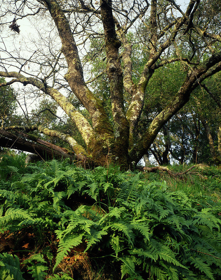 Ferns Photograph - 1b6339 Frens And Oaks On Our Mountain by Ed Cooper Photography