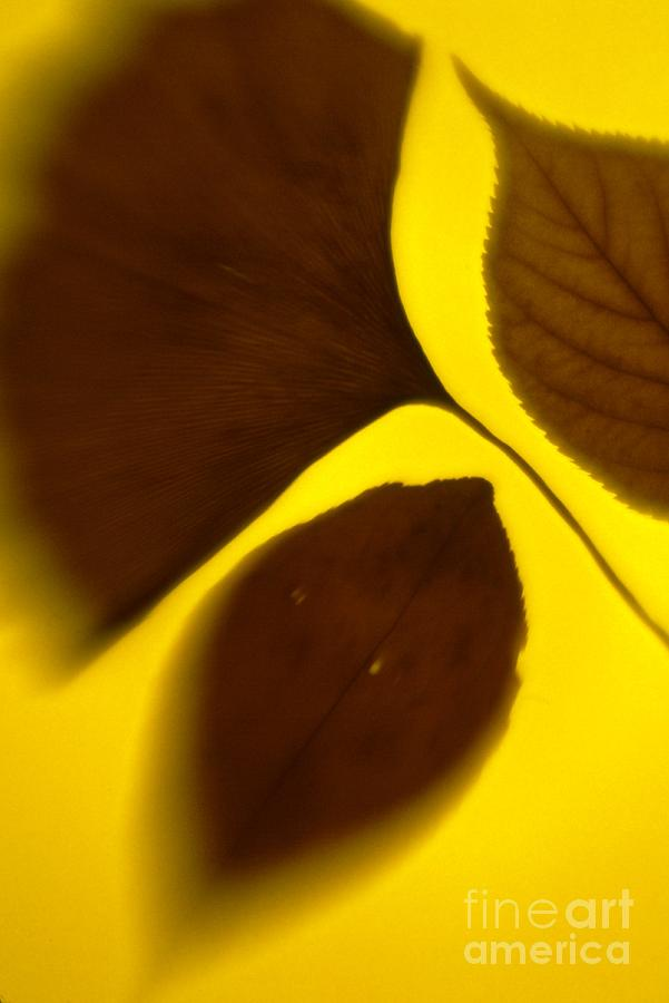 Color Photograph - 3 Leaves Series by Tamarra Tamarra
