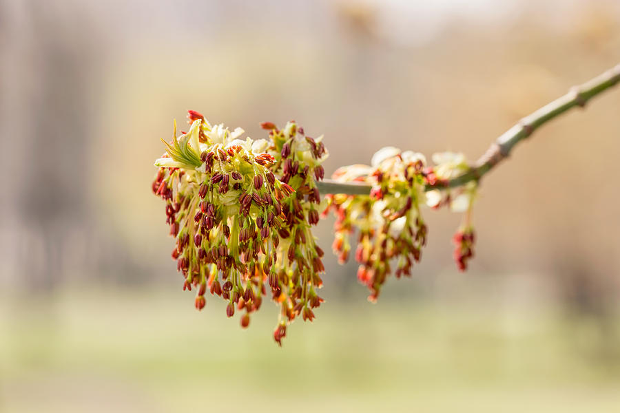 Acer Negundo Leaves And Flowers Photograph By Alain De Maximy