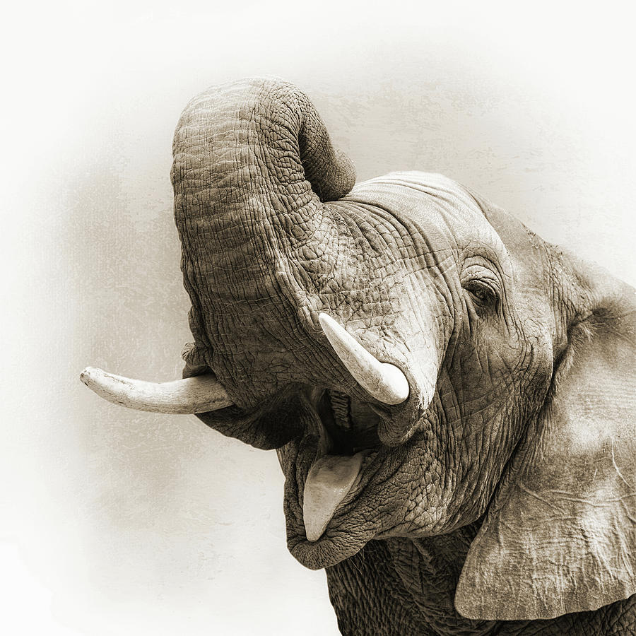 Animal Photograph - African Elephant Closeup Square by Susan Schmitz