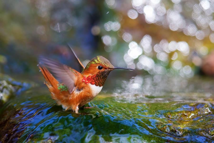 Hummingbird Photograph - Allens Hummingbird by Thy Bun