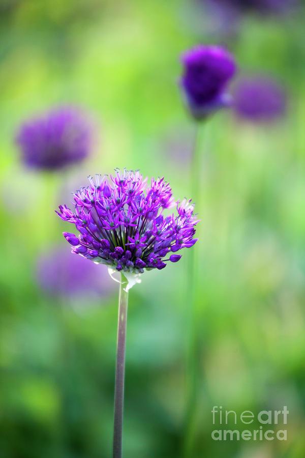 Garden Photograph - Allium by Kati Finell