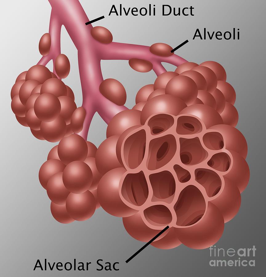 Alveoli Photograph By Gwen Shockey