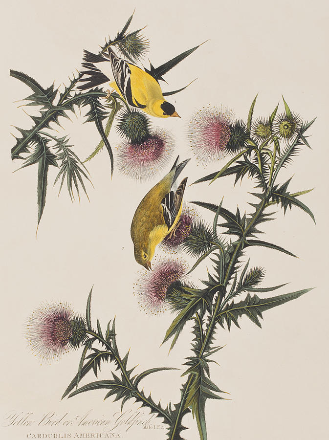 Goldfinch Painting - American Goldfinch by John James Audubon