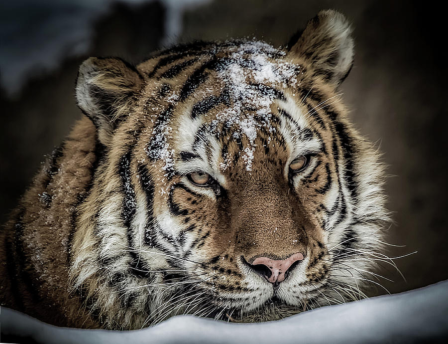 Amur Tiger by Ron Pate