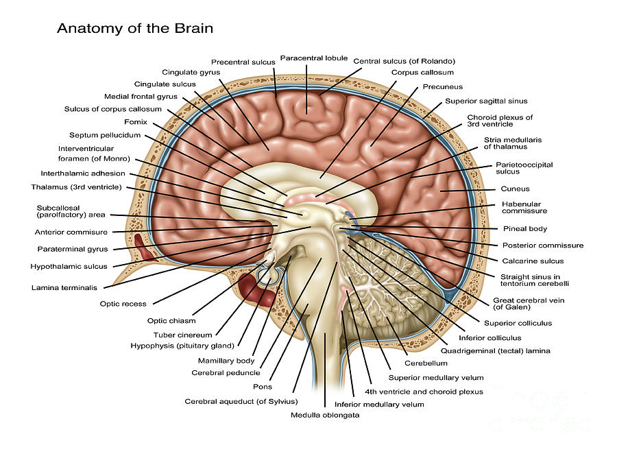 Anatomy Of The Brain, Illustration Photograph by Gwen Shockey