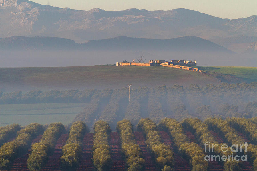 Olive Fields In Morning Mists Photograph