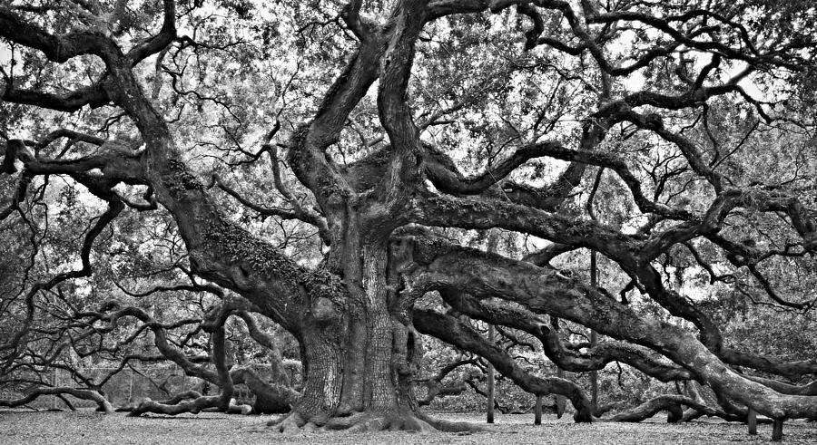 Oak Photograph - Angel Oak by Steven Liveoak