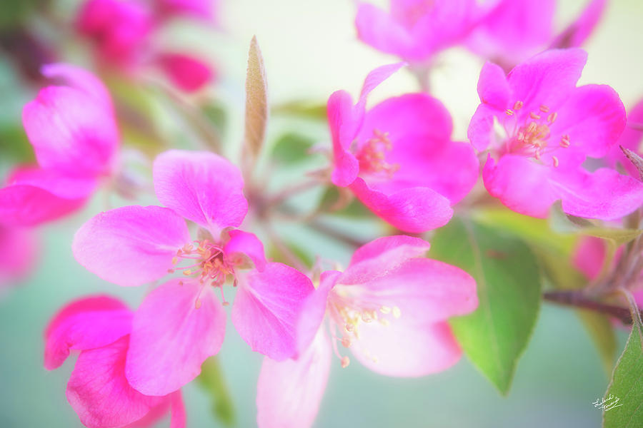 Apple Photograph - Apple Blossom 6 by Leland D Howard
