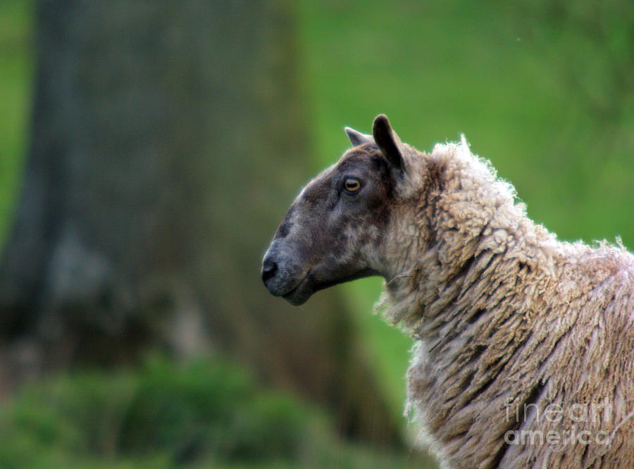Sheep Photograph - Baa Baa by Angel Ciesniarska