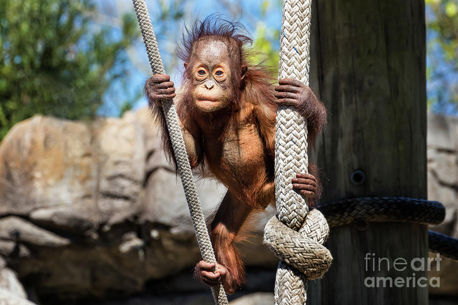 Baby Orangutan by Stephanie Hayes